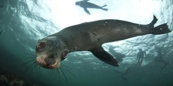 Animal Ocean - Seal Snorkeling
